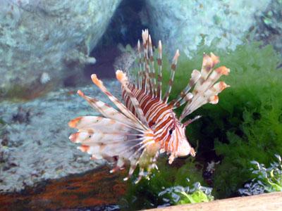 pez escorpion leon aqaba mar rojo jordania
