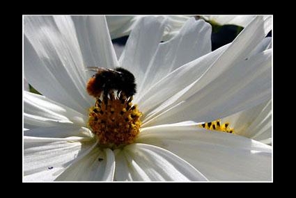 animales-abejorro-macro-marco-s
