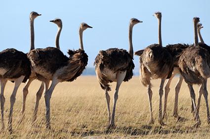 avestruz amboseli kenia 1 DSC_1976 s