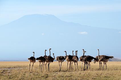 avestruz amboseli kenia kili DSC_1975 s