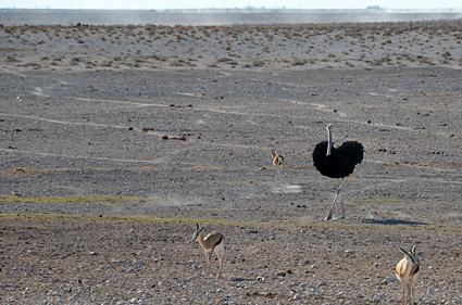 avestruz etosha namibia 1 DSC_8270 s