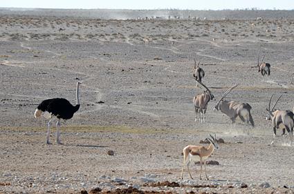 avestruz etosha namibia 2 DSC_8277 s