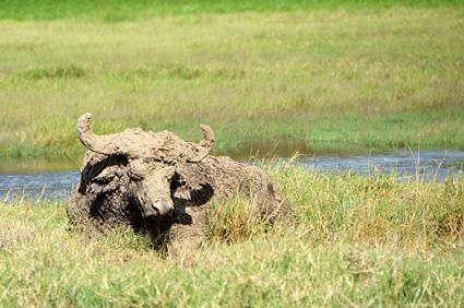bufalo de barro nakuru kenia DSC_8517 s