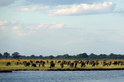 bufalos botswana P1080179 s