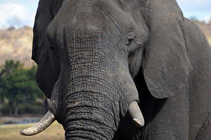 elefante chobe botswana DSC_5387 s