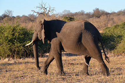 elefante chobe botswana DSC_6491 s