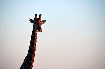 jirafa amanecer etosha namibia DSC_8081 s