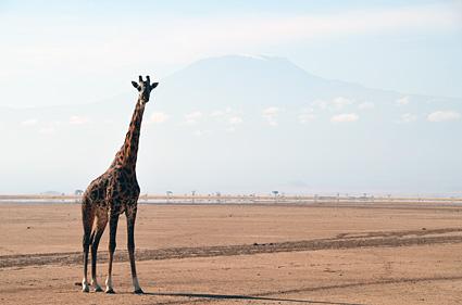 jirafa amboseli kilimanjaro kenia DSC_2007 s