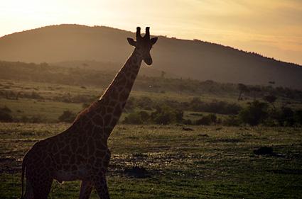 jirafa atardecer masai mara kenia DSC_7631 s