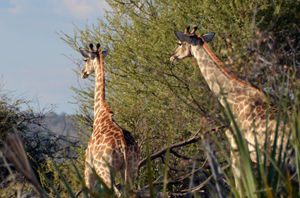 jirafa reserva mahango namibia DSC_6919 s