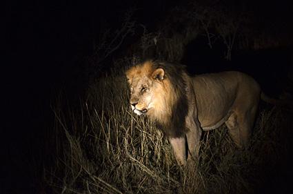 leon en etosha namibia DSC_8000 s