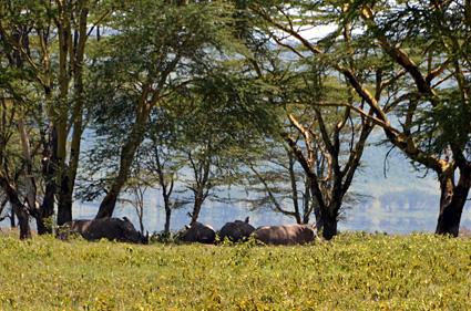 rinocerontes nakuru kenia DSC_8313 s