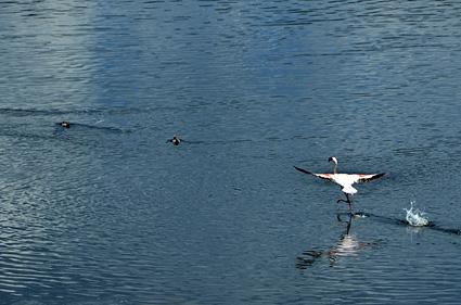 takeoff flamenco lago bogoria kenia DSC_8859 s