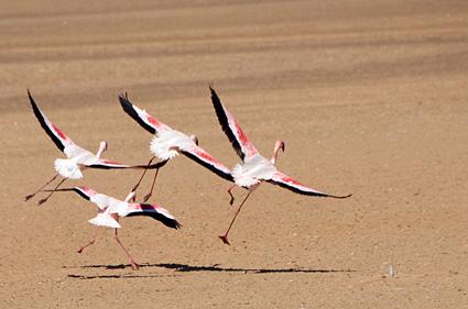 takeoff flamencos desierto DSC_3855 s
