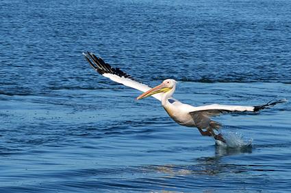takeoff pelicano despega DSC_2918 s