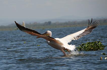 takeoff pelicano naivasha kenia DSC_9072 s