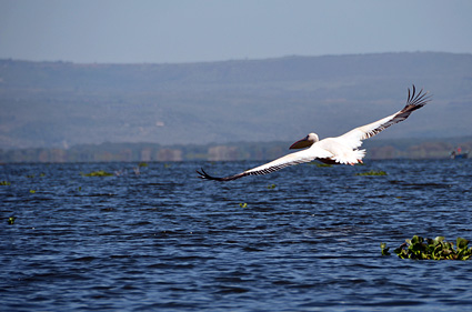 wind powered pelicano naivasha kenia DSC_9077 s