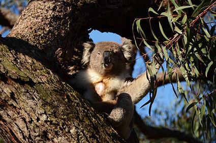 koala-raymond-island-dsc_3253-s